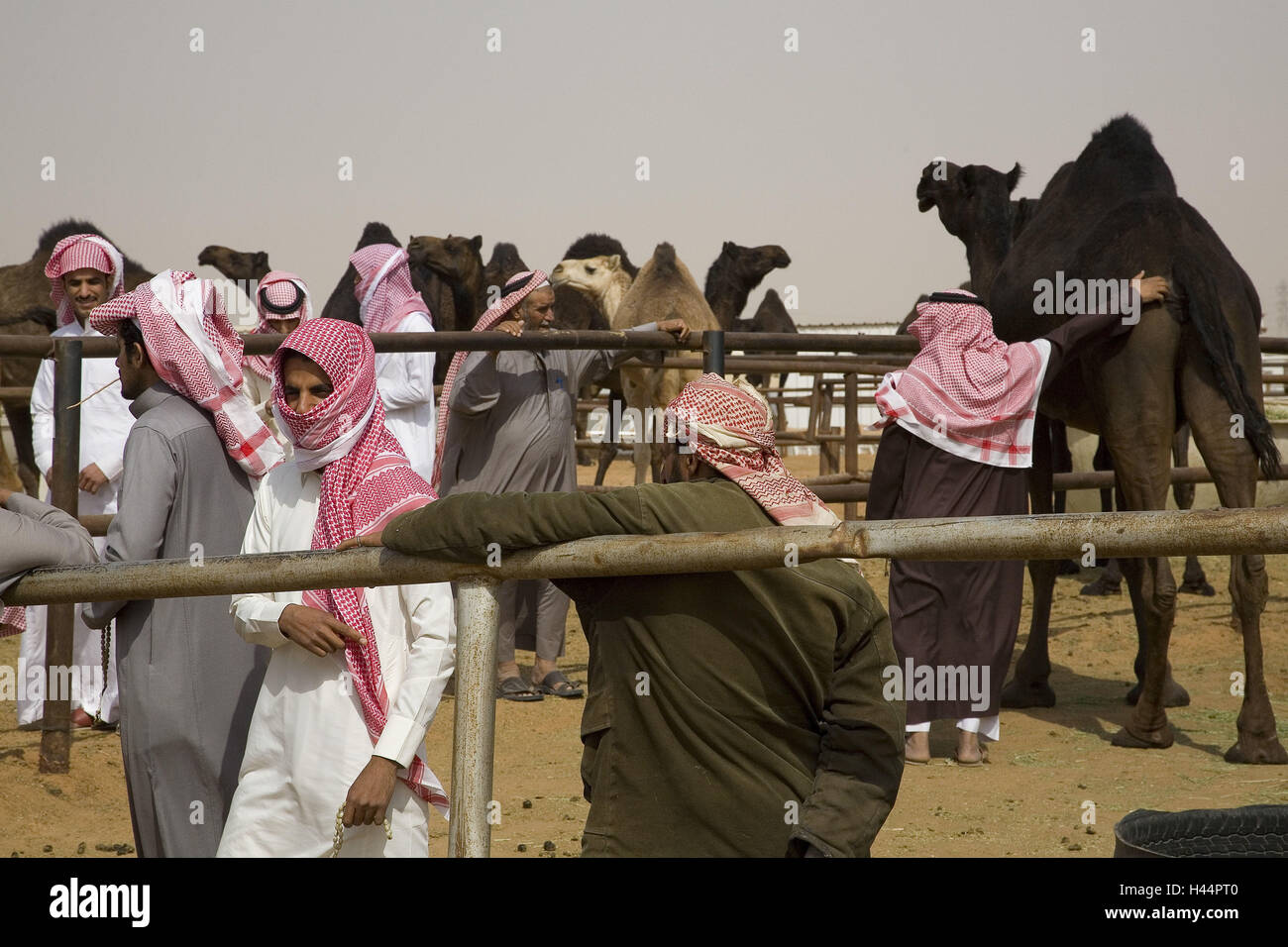 Arabia Saudita, provincia riad a Riad, mercato di cammelli, Immagini Stock