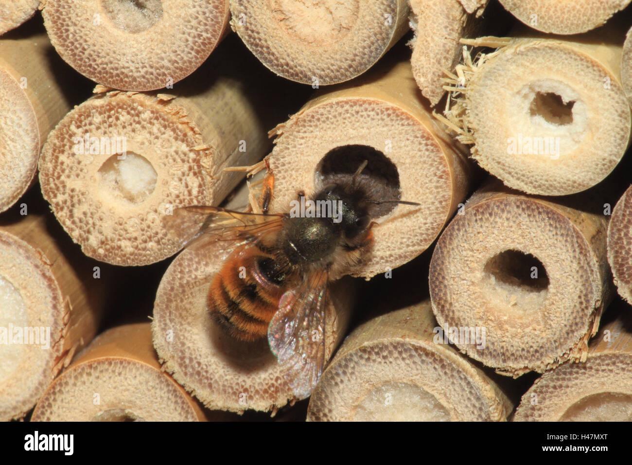 Muraglia difensiva bee, fossa di covata, medium close-up, formato orizzontale, insetti, animali, animale selvatico, Immagini Stock