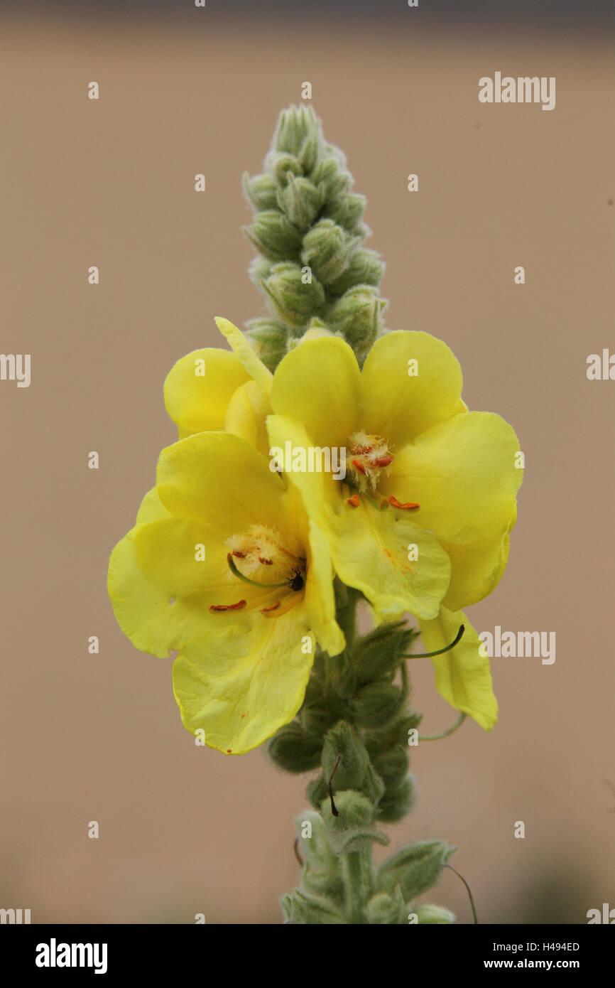 Su larga scala di notte fiori candela, Immagini Stock
