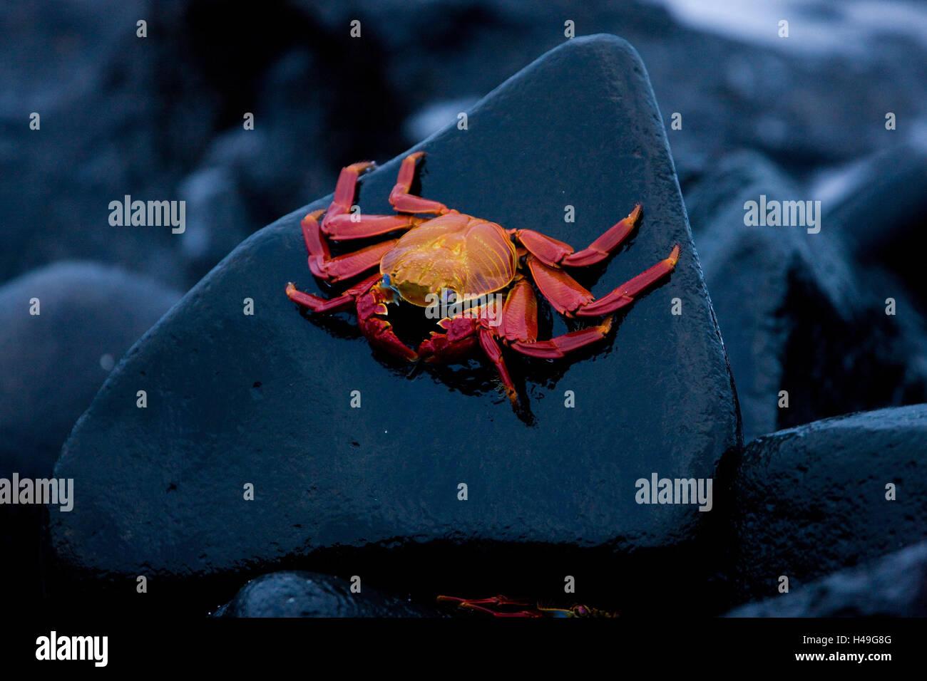 Red Cliff granchio, Grapsus grapsus, Ecuador, le Isole Galapagos, Sud America, Galapagos, isola, costa, roccia, Immagini Stock