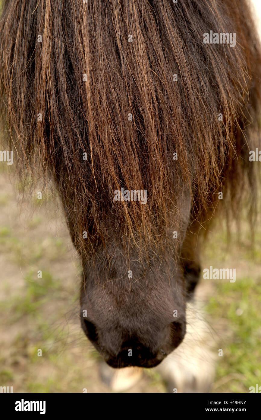 Testa di cavallo, mane, dettaglio, cavallo, ritratto, ritagliato, marrone, vista laterale, animali piccoli, close Immagini Stock