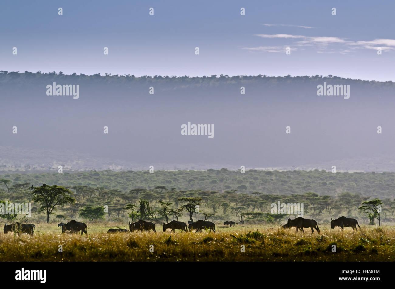 Africa Africa Orientale, Tanzania, Serengeti, mondo animale, gnus, Immagini Stock