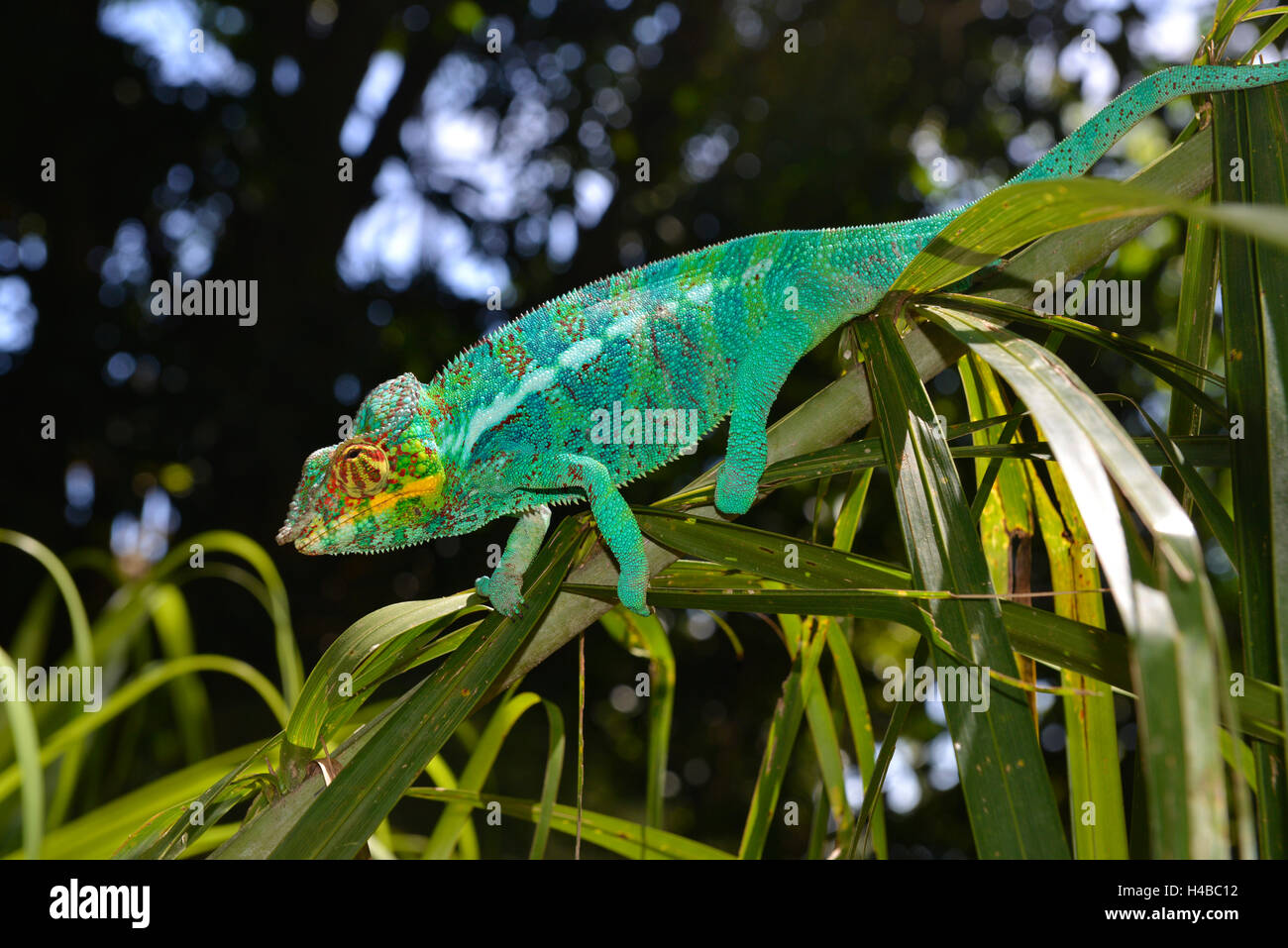 Maschio di panther chameleon (Furcifer pardalis), nelle foreste dell'isola di Nosy Komba, a nord-ovest del Madagascar Foto Stock