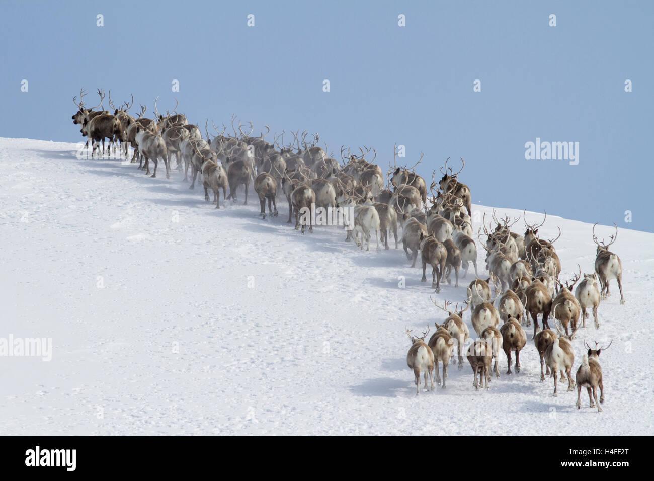 Allevamento di renne che corre intorno alla montagna invernale giorno soleggiato Immagini Stock