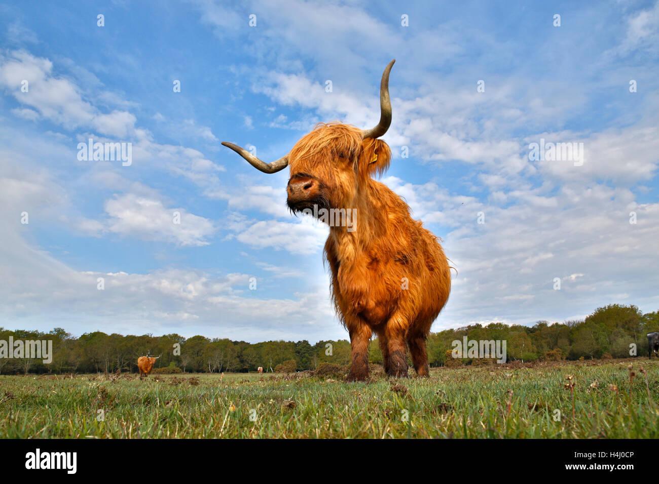 Highland mucca nuova foresta; Regno Unito Immagini Stock