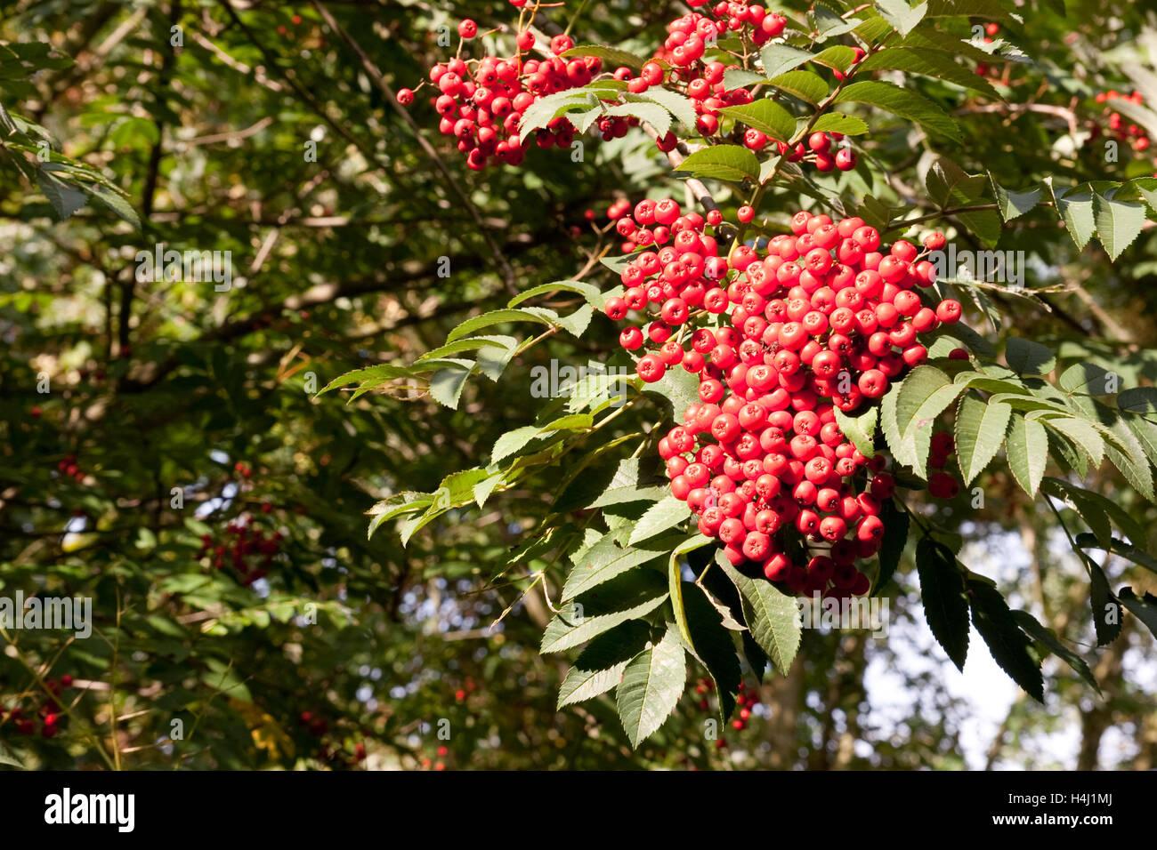 Albero Con Bacche Rosse sorbus aucuparia albero con bacche rosse autunno regno unito