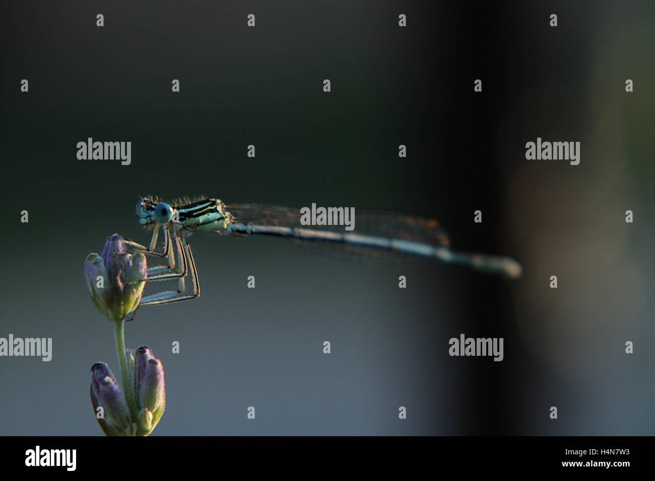 Primo piano di una damselfly su una lavanda bud Immagini Stock