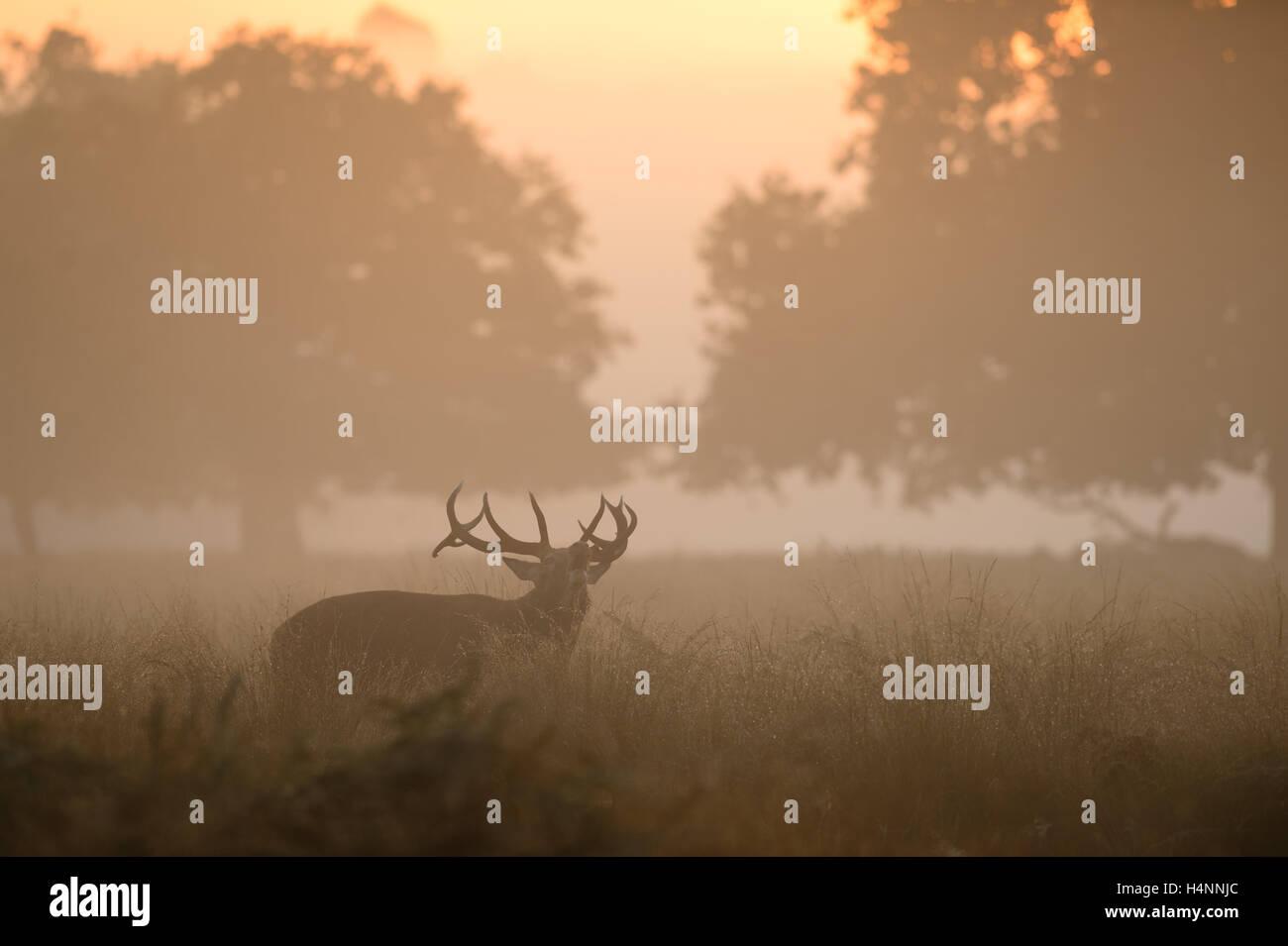 Red Deer stag chiamando all'inizio di foschia mattutina di sunrise, Richmond Park, London, Regno Unito. Immagini Stock