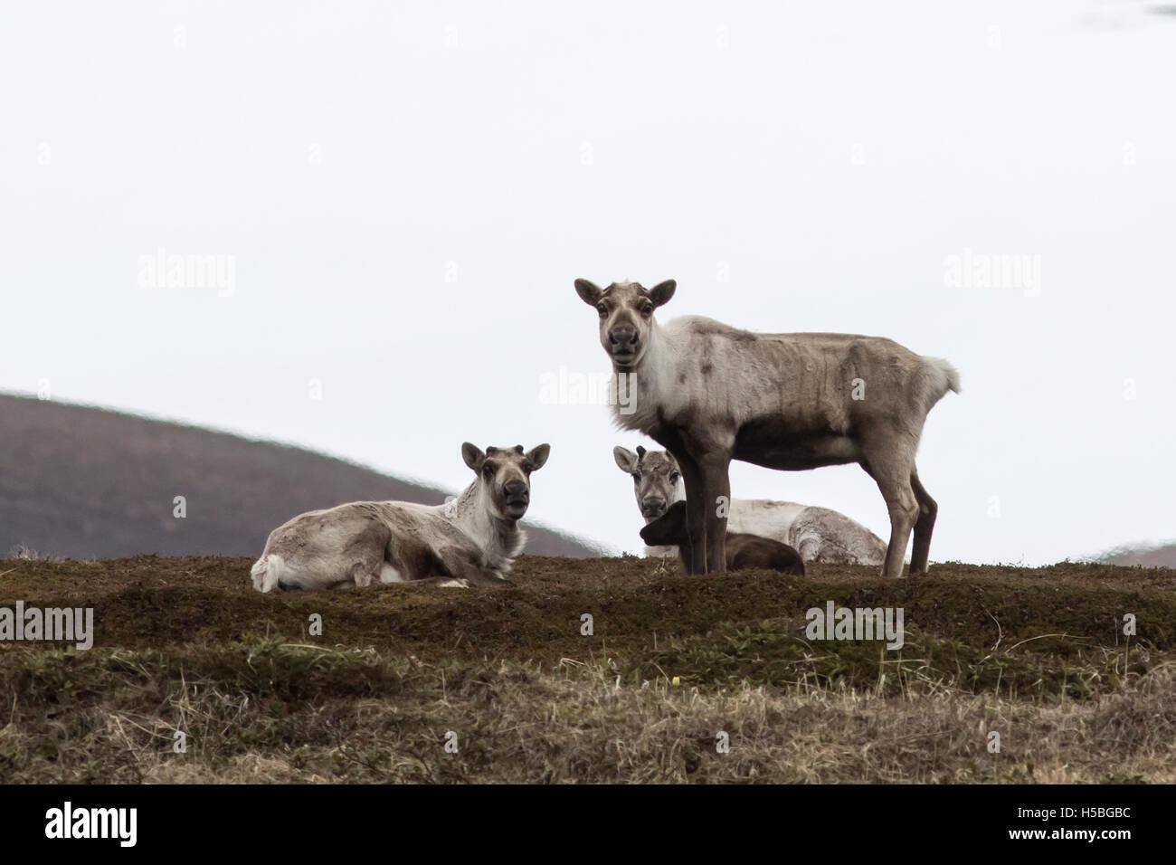 Gruppo wild renne nella tundra in primavera in un giorno nuvoloso Immagini Stock