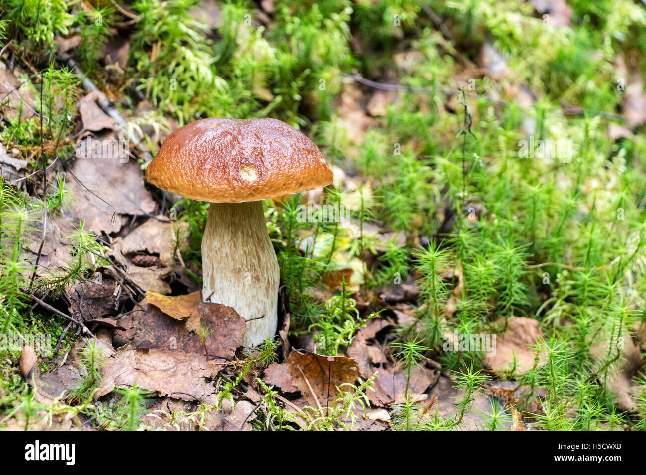 Foresta di funghi commestibili con tappo marrone in erba verde Immagini Stock