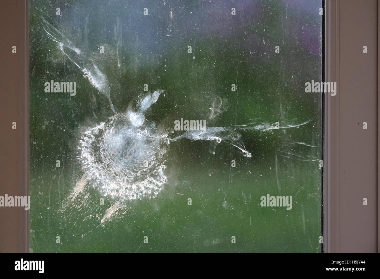 Profilo di uccello, woodpigeon, a sinistra sulla finestra, una piuma polvere impronta sul vetro Immagini Stock