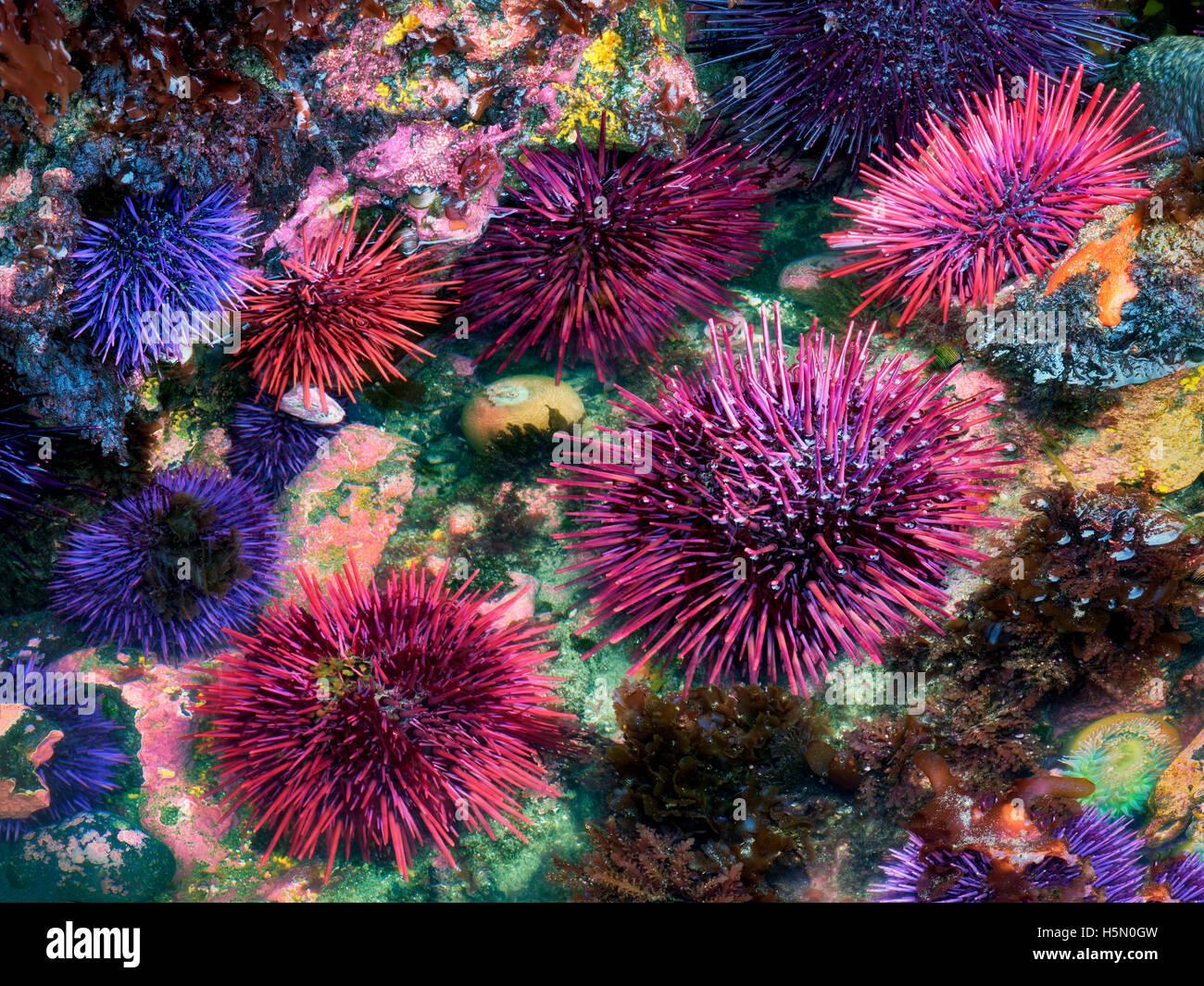 Rosso e viola ricci di mare in condizioni estreme di meno la marea. Yaquina Capo Eccezionale area naturale, Oregon Immagini Stock
