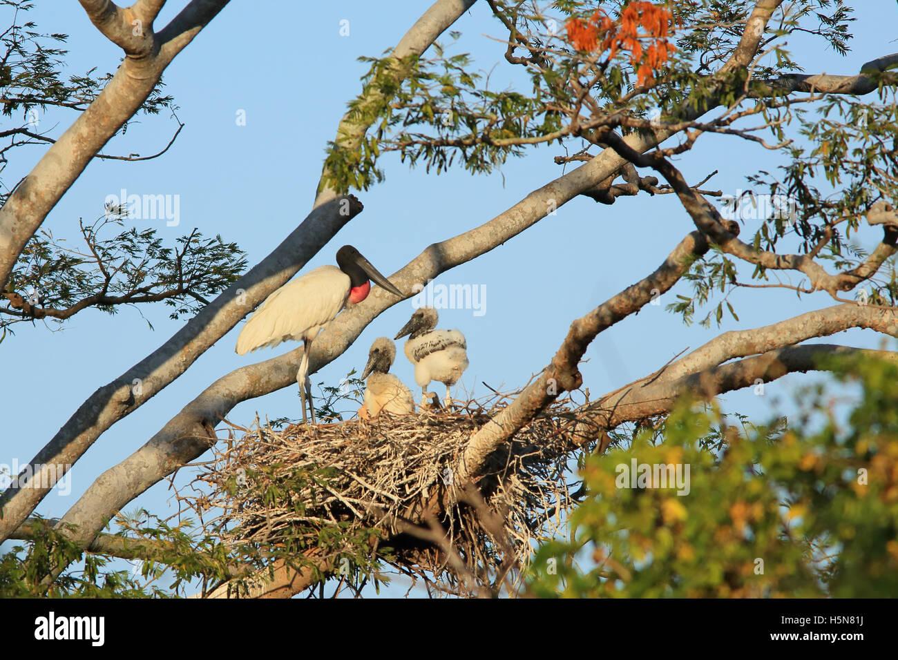 Jabiru Aeroporto (Jabiru Aeroporto mycteria) e della prole al nido. Tropical foresta secca, Palo Verde National Immagini Stock