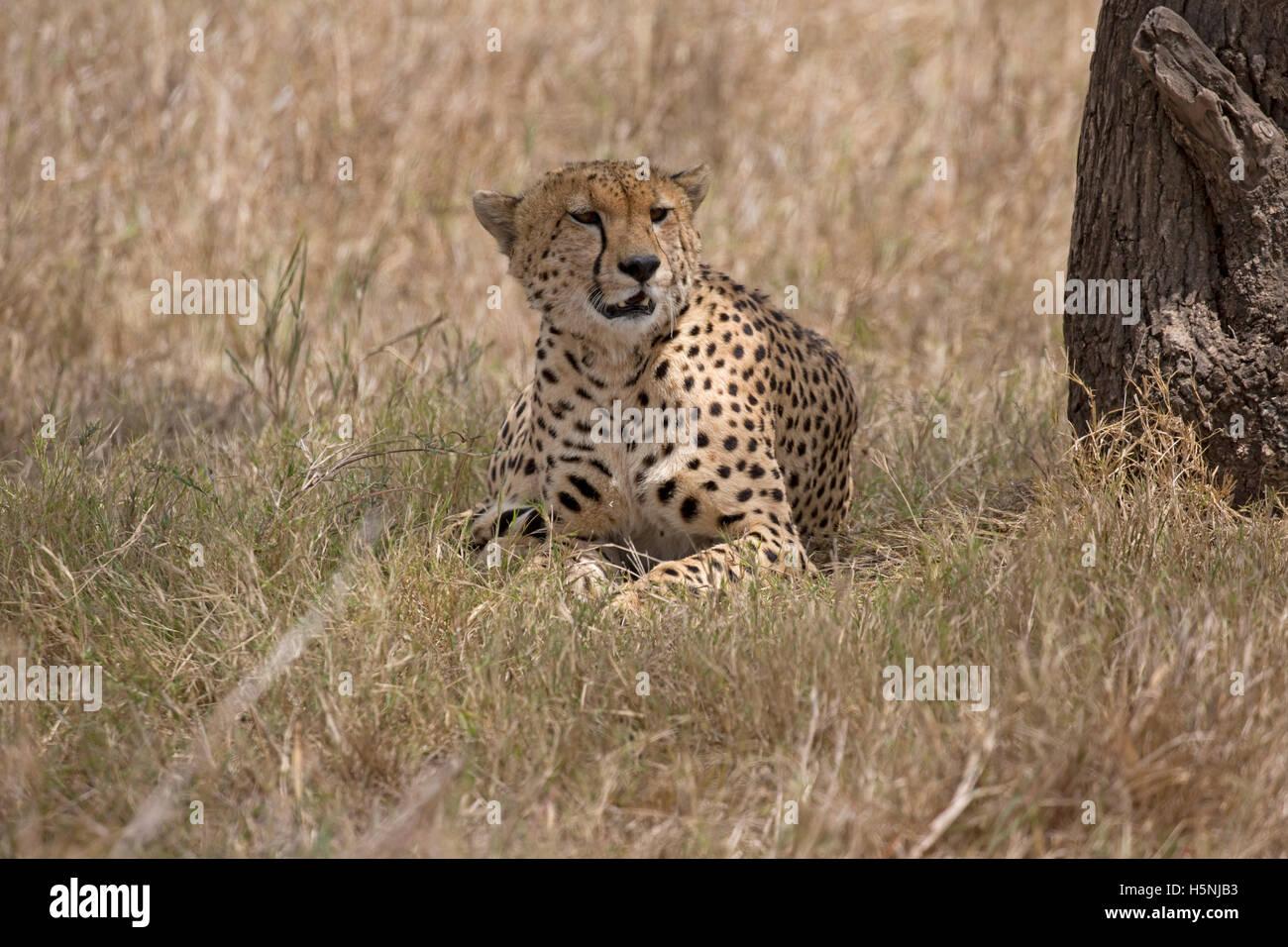 Ghepardo solitario di riposo in ombra sotto agli alberi Masai Mara Kenya Immagini Stock