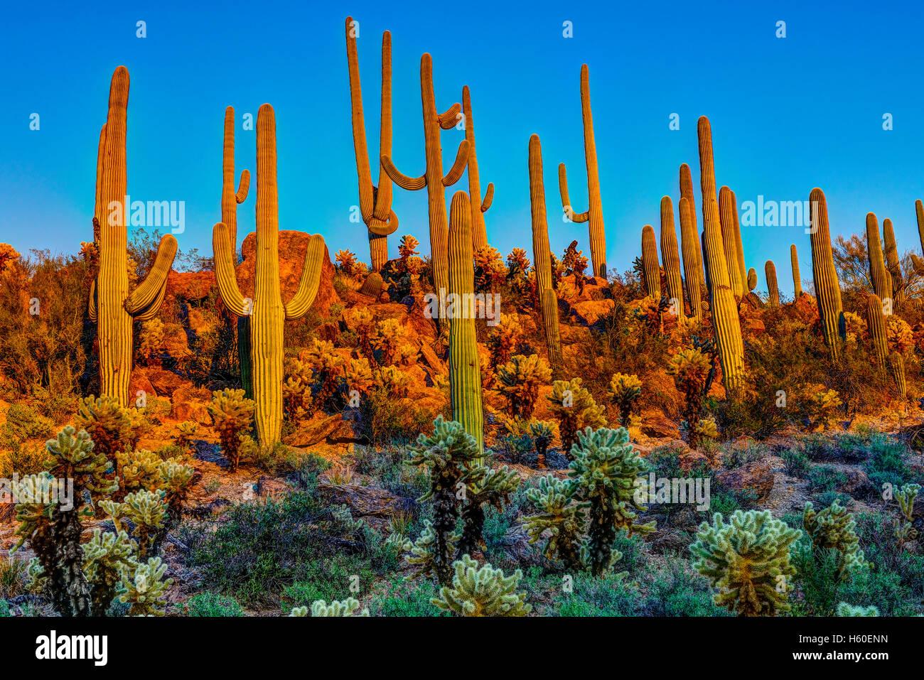 Saguaros al crepuscolo Immagini Stock