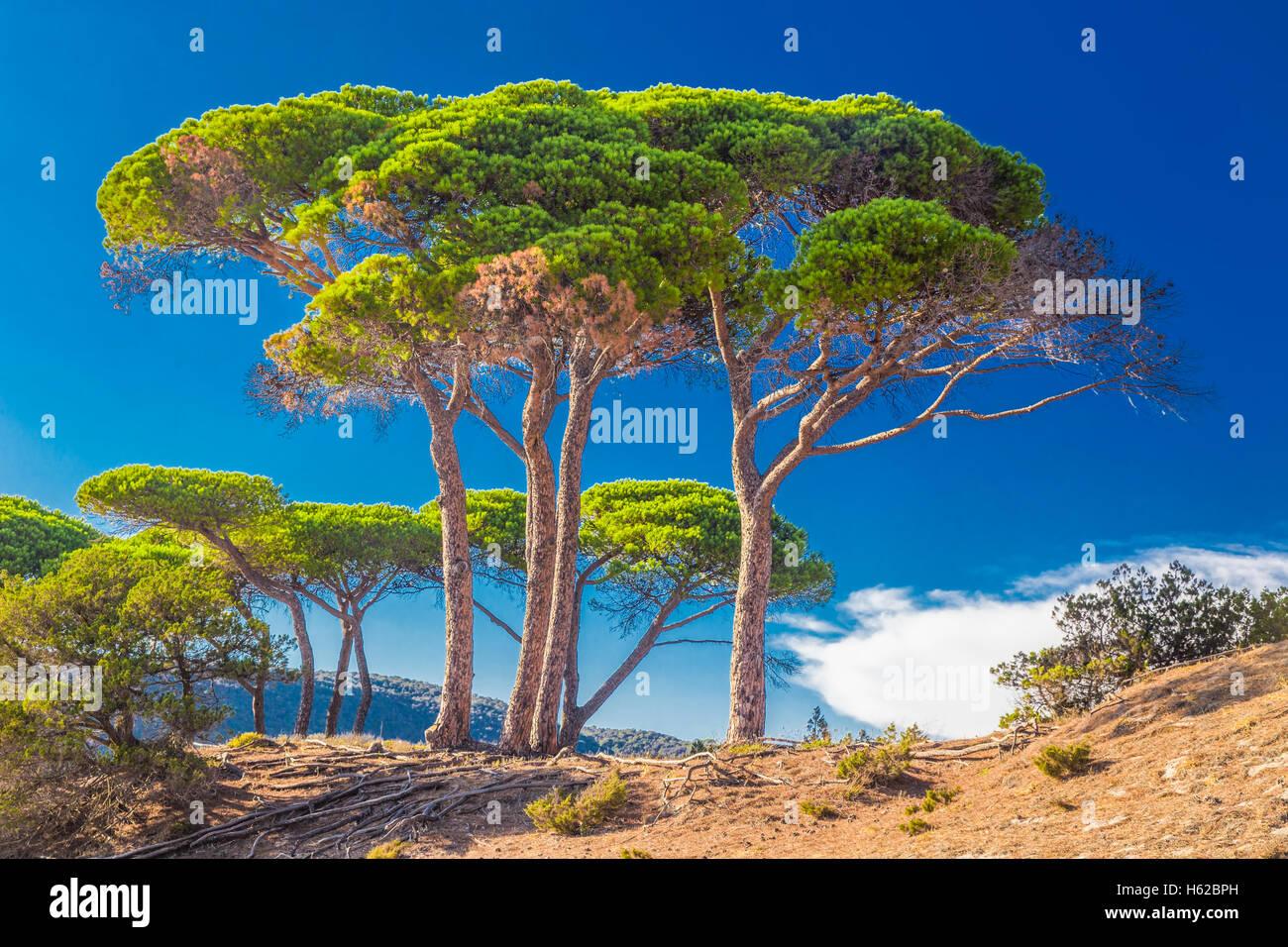 Alberi di pino sulla spiaggia in Corsica, Francia, Europa. Immagini Stock