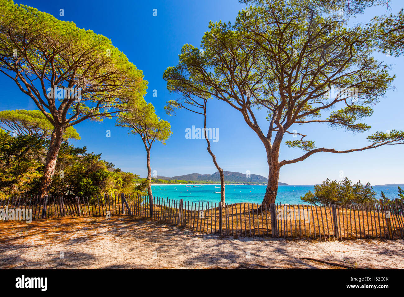 Pini a Palombaggia spiaggia di sabbia sulla parte sud della Corsica, in Francia, in Europa. Immagini Stock
