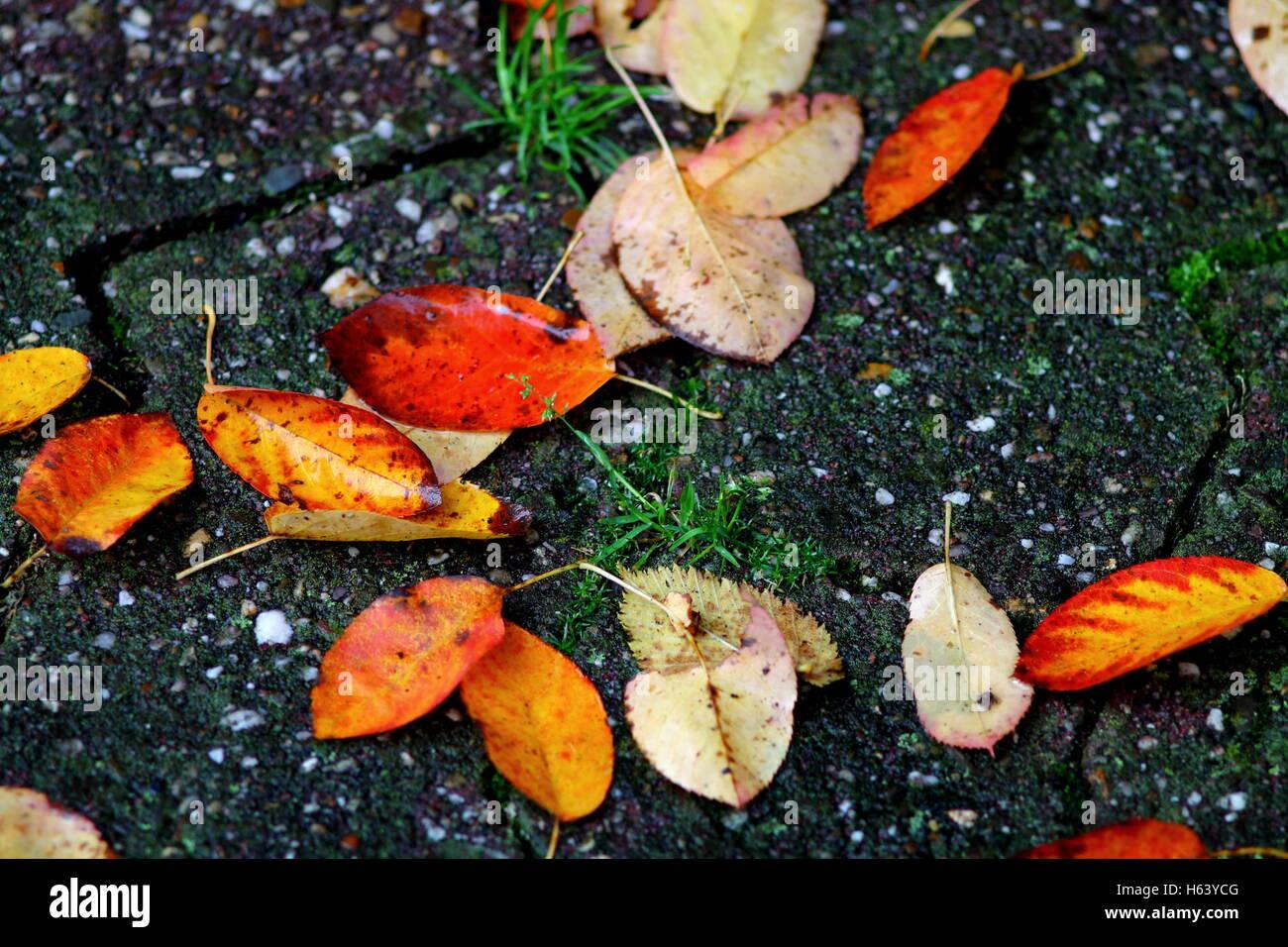 Caduta foglie rosse sul pavimento di asfalto bagnato dopo la pioggia.  Immagini Stock cf252ffd5d1