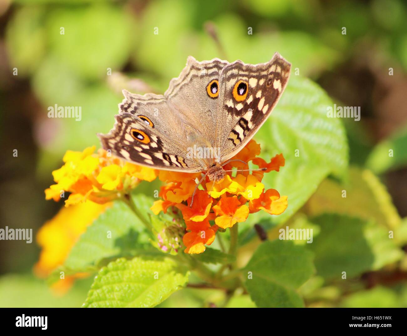 Close up Junonia lemonias - Limone pansy succhiare miele dal fiore - Farfalle del subcontinente indiano Immagini Stock