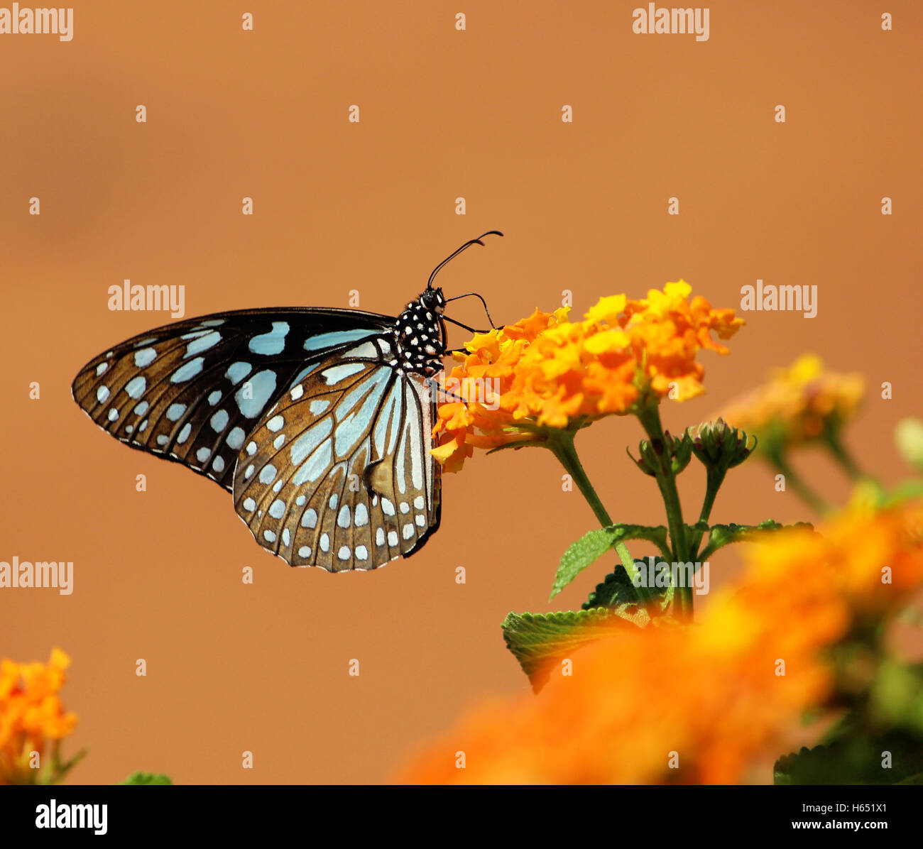 Blue Tiger butterfly alimentazione nome scientifico - Tirumala limniace - Farfalle del subcontinente indiano Immagini Stock