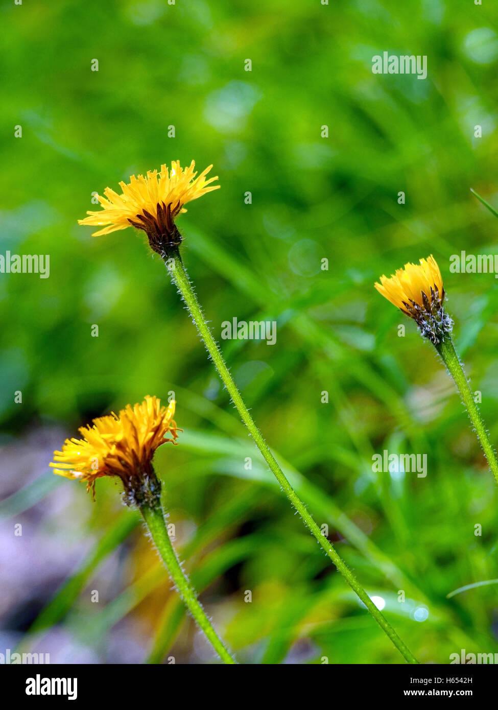 Fiori Di Campo Gialli.Fiori Gialli Basse Profondita Di Campo Sfondo Verde Foto