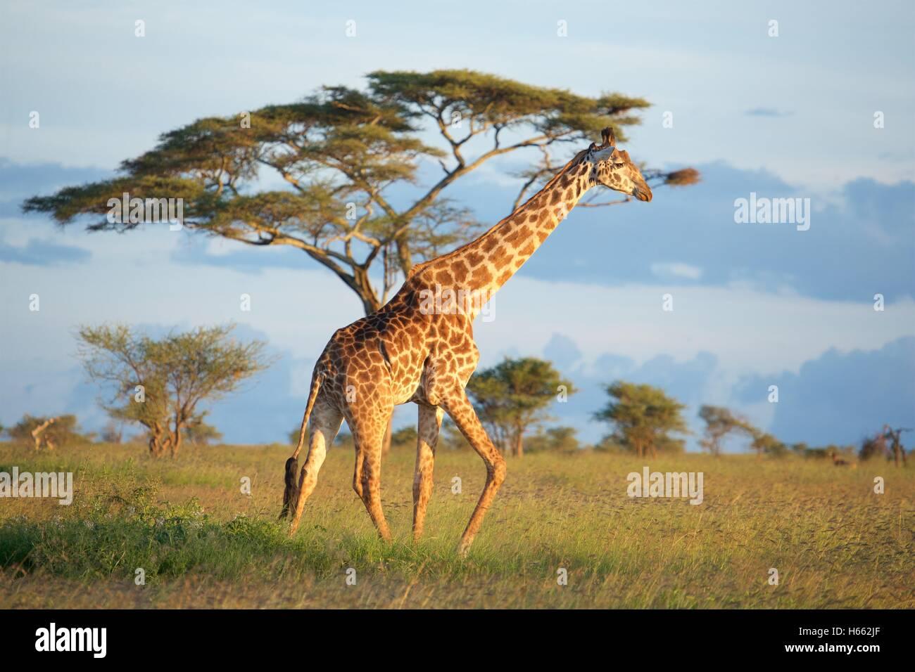 Visualizzazione di una giraffa di selvatico su safari nel Serengeti National Park, Tanzania. Immagini Stock