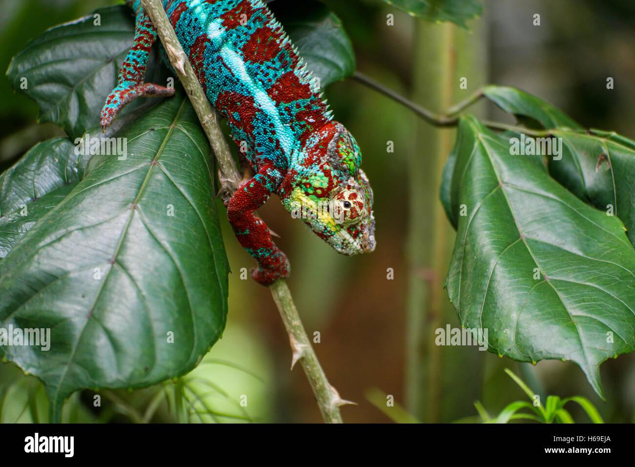 Un camaleonte salendo lungo un bastone circondato da foglie verdi Immagini Stock
