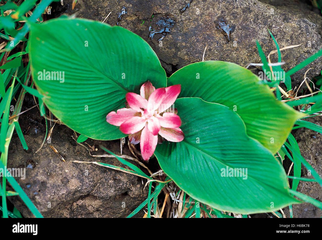 Curcuma sp. famiglia: zingiberaceae. Un selvatico rispetto della curcuma. i fiori ornamentali e sono utilizzati Immagini Stock