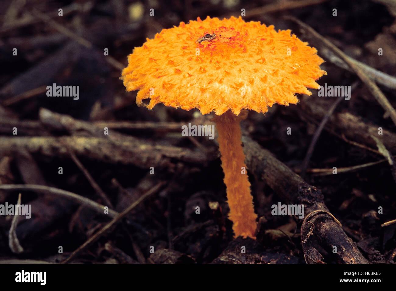 Classe: homobasidiomycetes . serie: hymenomycetes. ordine: agaricales. Un piccolo vivacemente colorato fungo trovato Immagini Stock