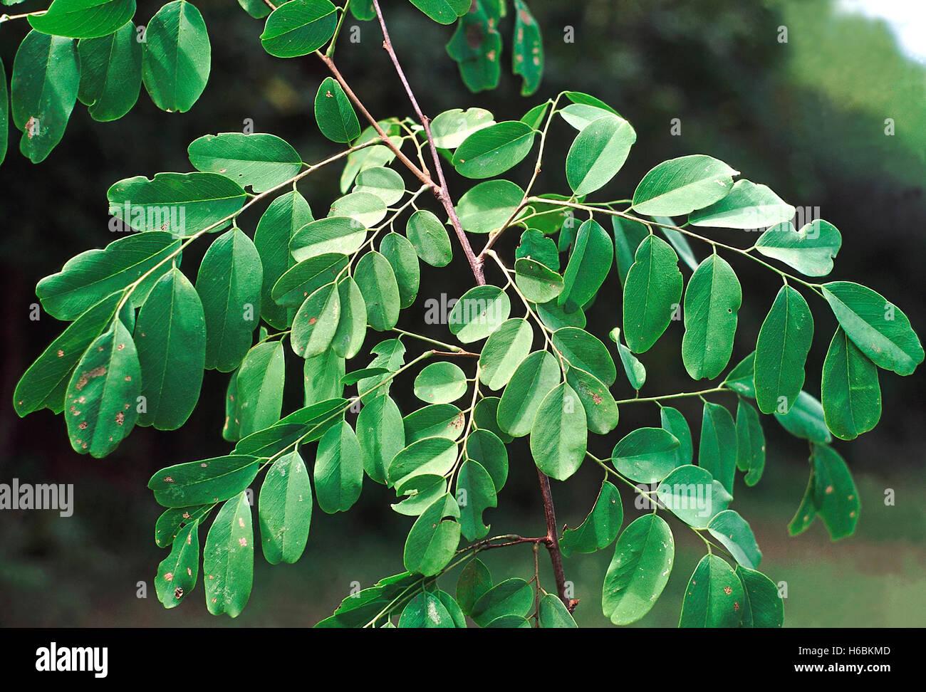 Foglie. dalbergia lanceolaria. famiglia: fabaceae. un moderato dimensioni albero a foglie decidue. molto simile Immagini Stock