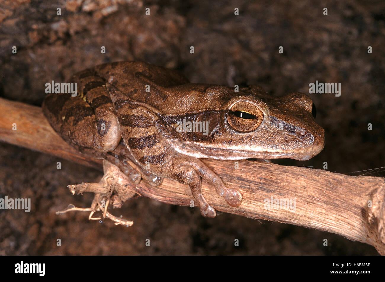 Polypedates maculatus. comune raganella. Una di medie dimensioni rana che si trova in umido bosco di latifoglie Immagini Stock