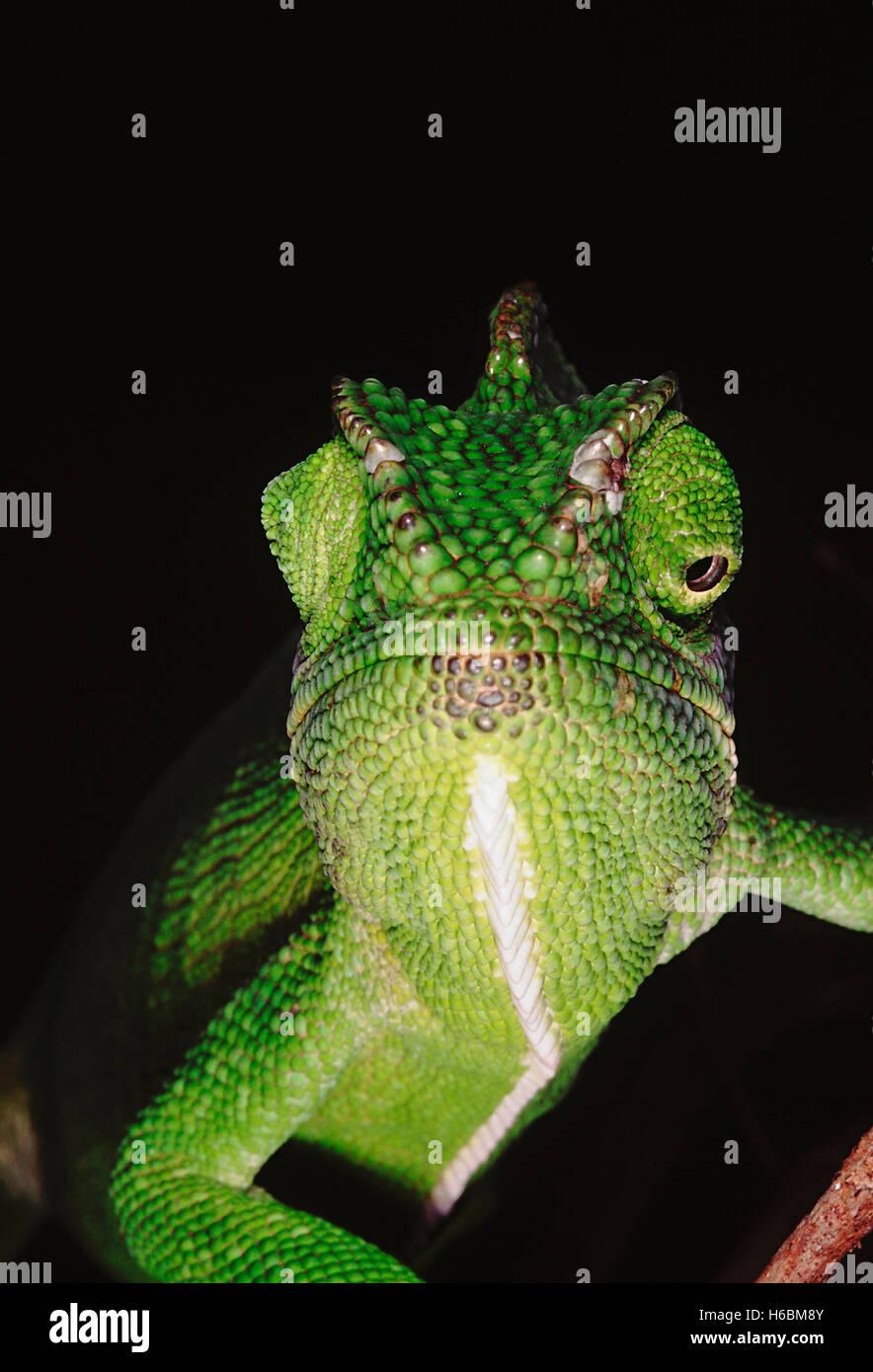 Il camaleonte ha la capacità di cambiare il suo colore così come ombra a seconda del suo umore e dintorni. Immagini Stock