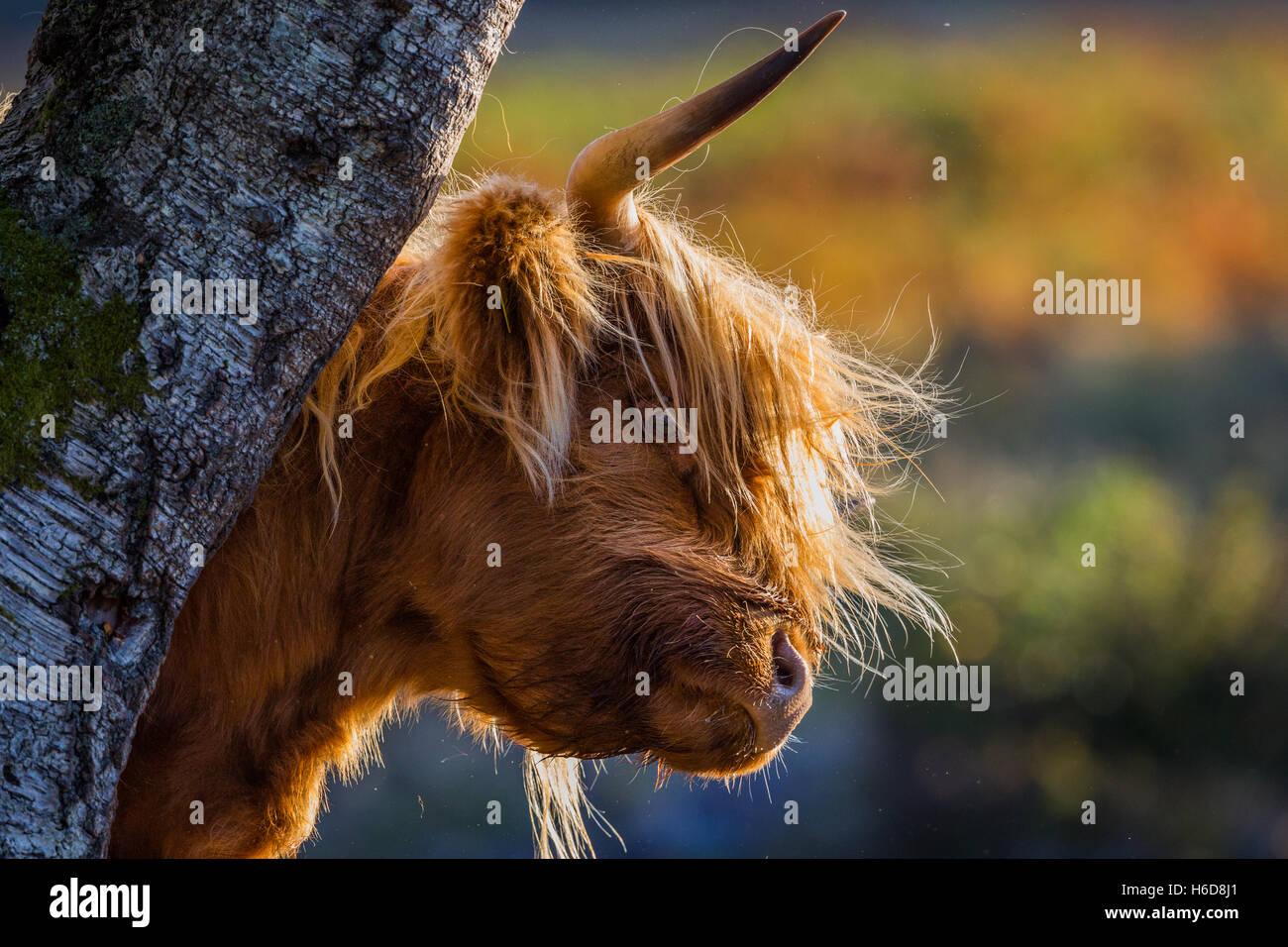Retroilluminato mucca Highland graffi su un albero in luce del sole di mattina. Immagini Stock