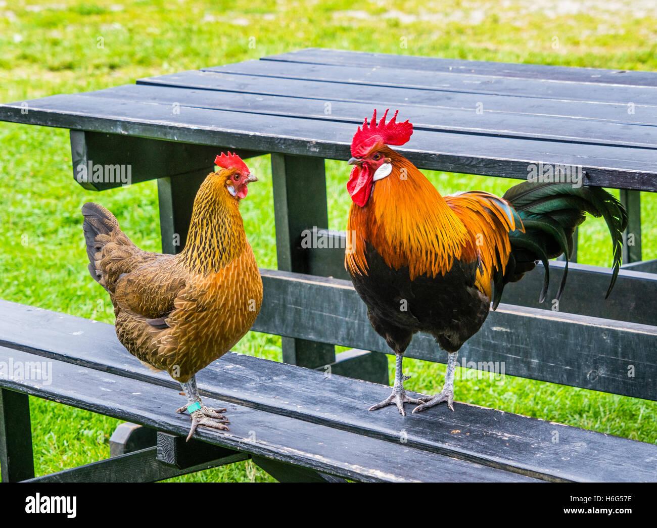 Danimarca, Funen, Odense, gallina gallo e occupare un tavolo da picnic presso il villaggio di Funen open air museum Immagini Stock