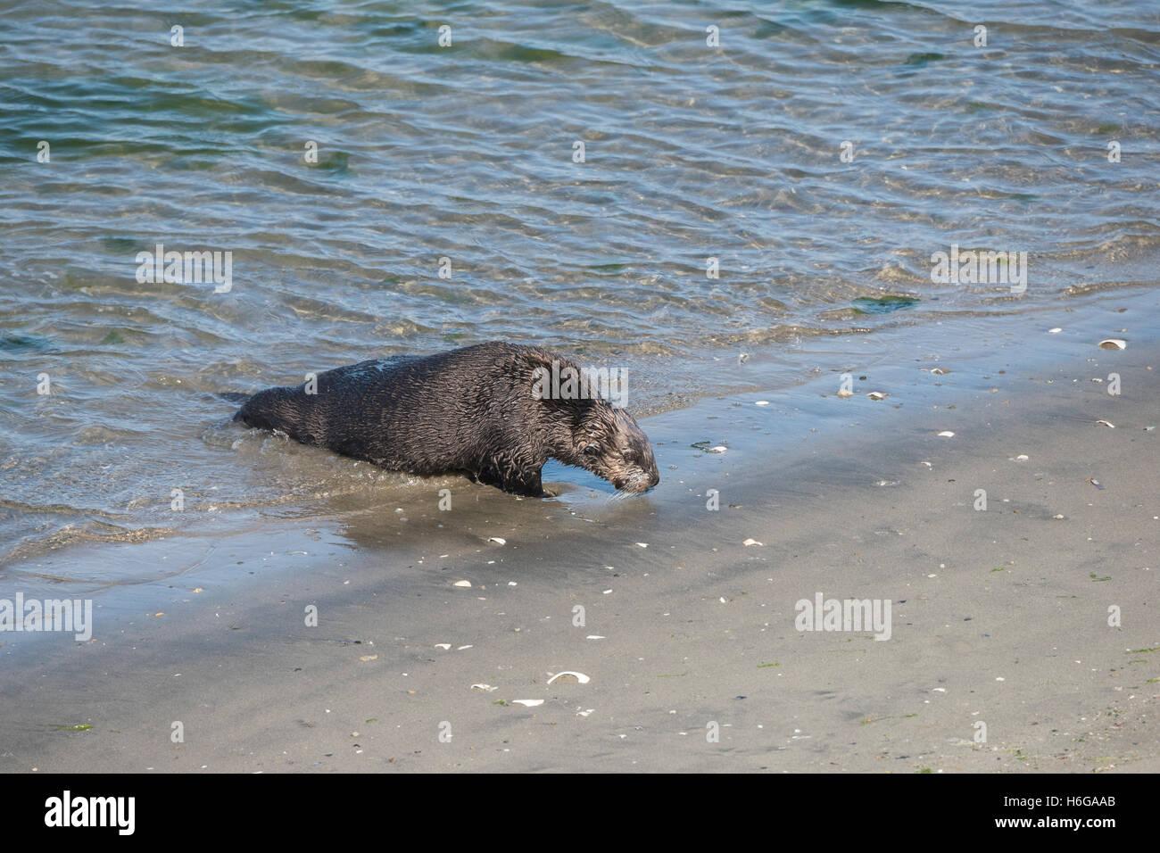 Lontra di mare meridionale Lontra, Enhydra lutris nereis, arriva a terra per oziare sulla spiaggia di Moss Landing, Immagini Stock
