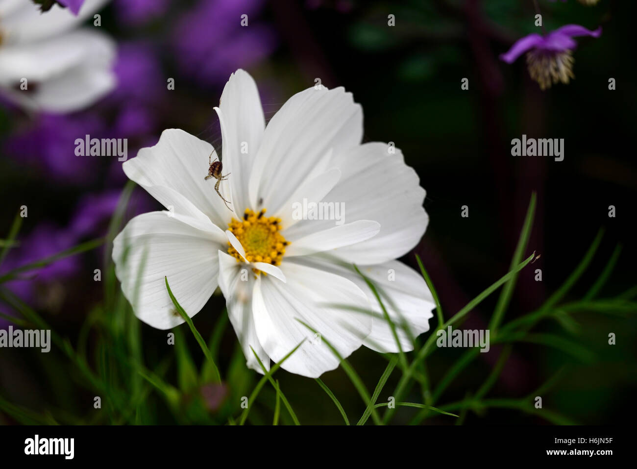 Cosmos purity flower white immagini cosmos purity flower white