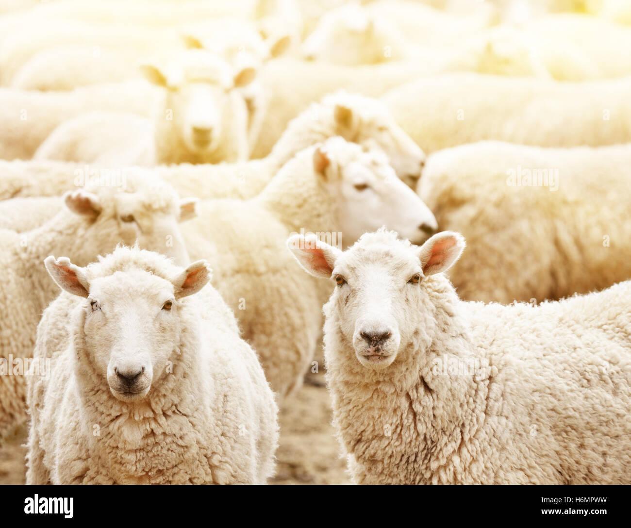 Allevamento di Bestiame, gregge di ovini Immagini Stock