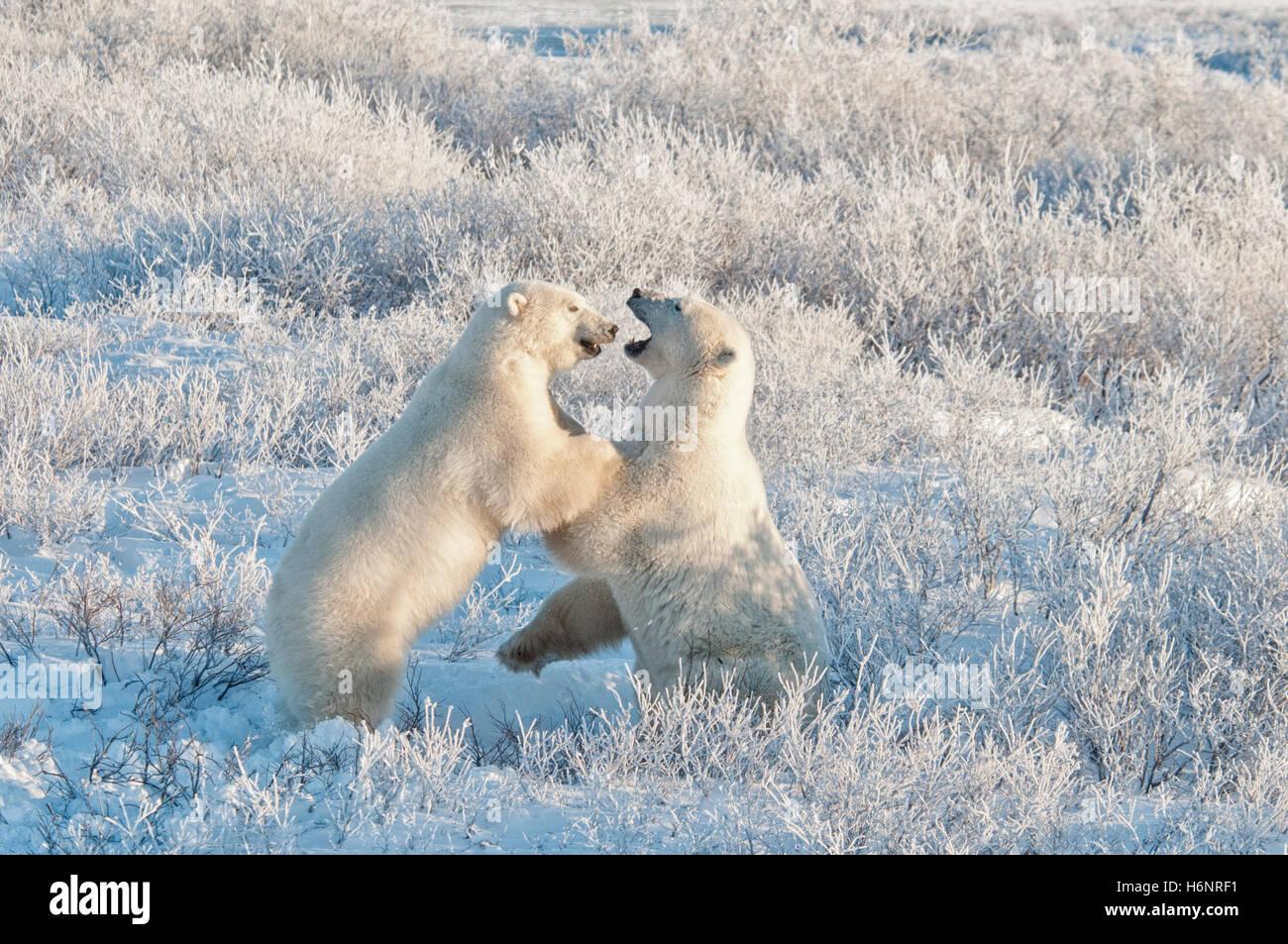 Gli orsi polari, Ursus maritimus, giocare a combattimenti nel gelo, la mattina presto luce nei pressi della Baia Immagini Stock