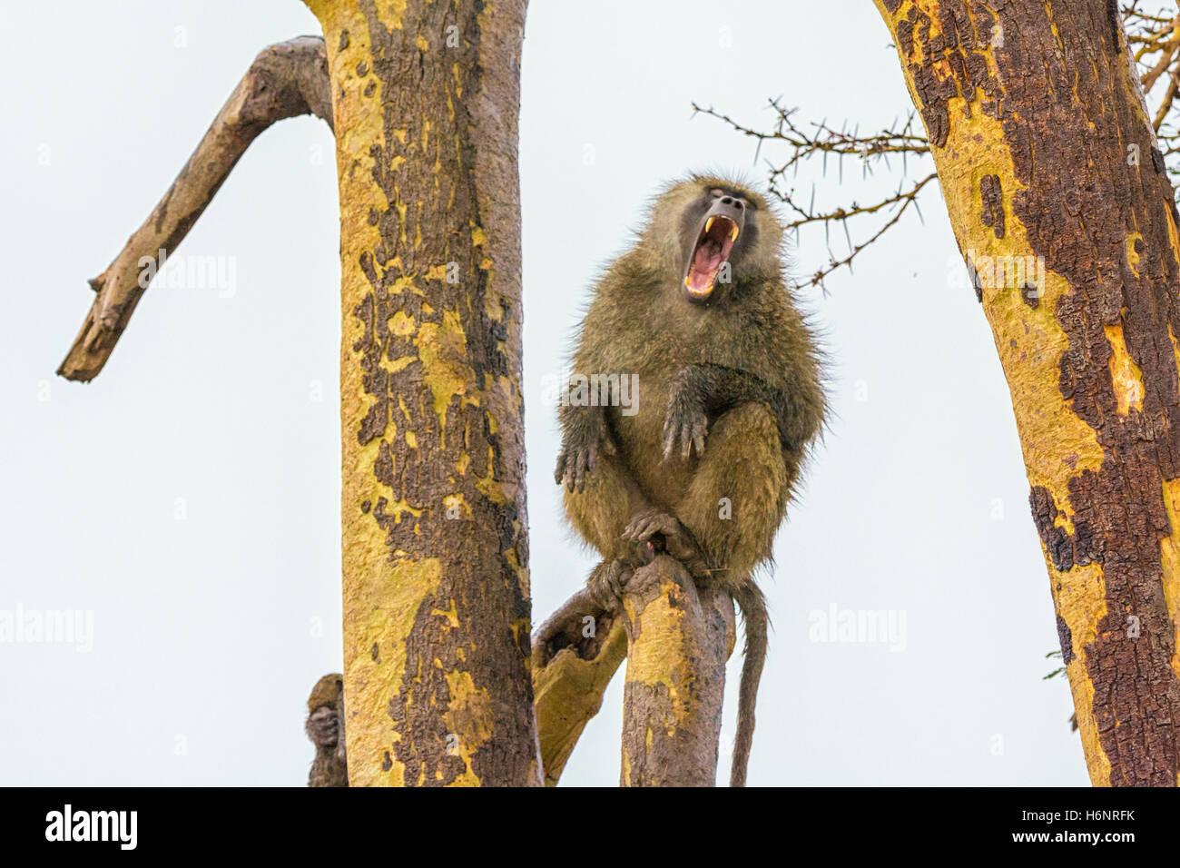 Un adulto Wild Olive Baboon papio anubis, sbadigli con una bocca larga che mostra denti, Ol Pejeta Conservancy, Immagini Stock