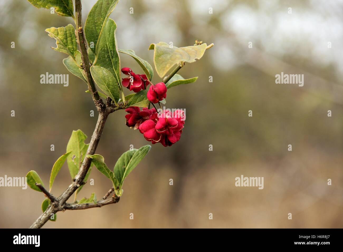 Red accento nella foresta. Immagini Stock