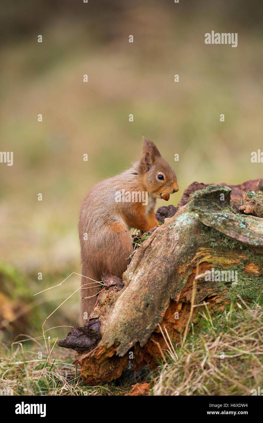 Scoiattolo rosso; Sciurus vulgaris unico con il dado per la Scozia, Regno Unito Foto Stock
