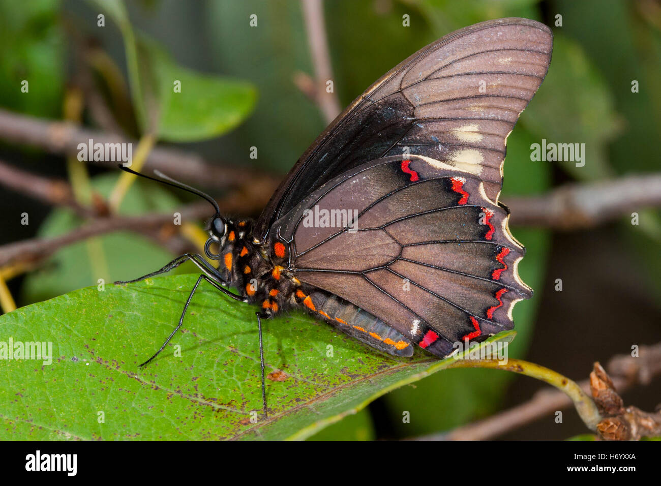 A coda di rondine Polydamas Battus polydamas Gomez Farias, Messico 26 gennaio 2004 Papilionidae adulto Papilioninae Immagini Stock
