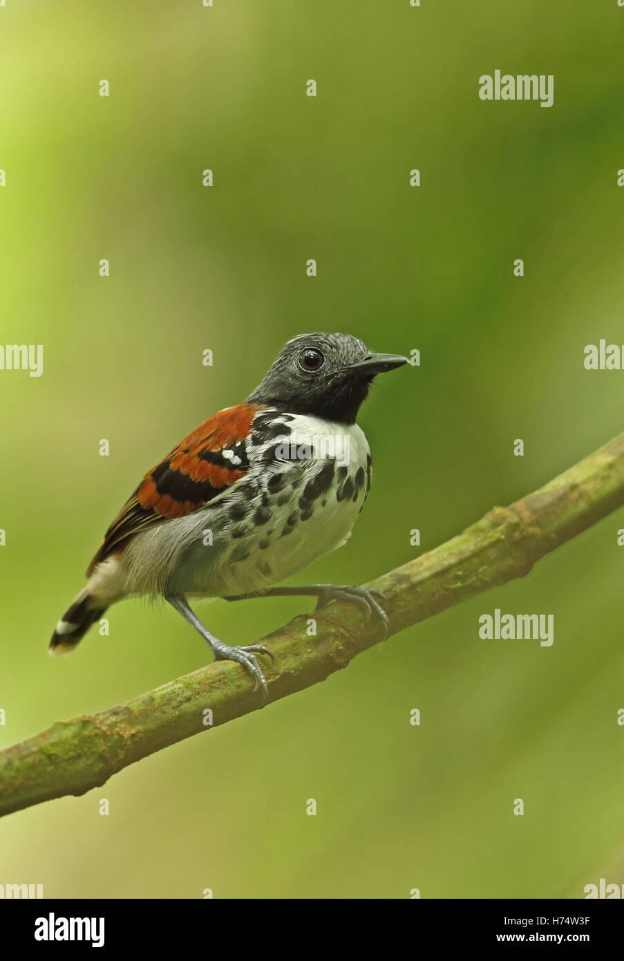 Avvistato Antbird (Hylophylax naevioides naevioides) maschio adulto appollaiato sul ramo Darien, Panama Aprile Immagini Stock