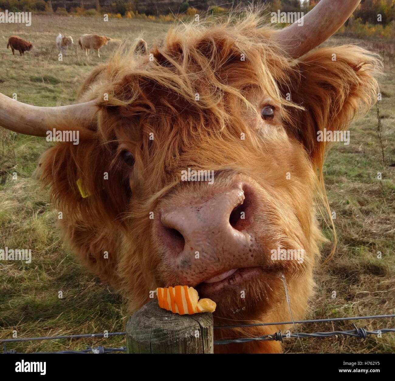 Highland faccia del bestiame Immagini Stock