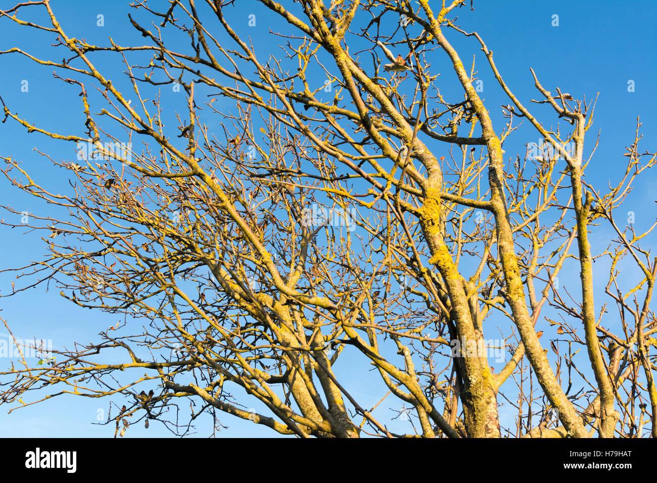 Rami di albero spoglio di foglie all'inizio dell'inverno, contro il cielo blu. Immagini Stock