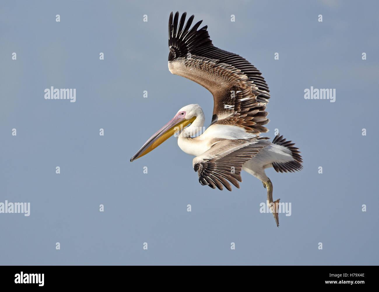 Great White Pelican, giovani sbarco Immagini Stock