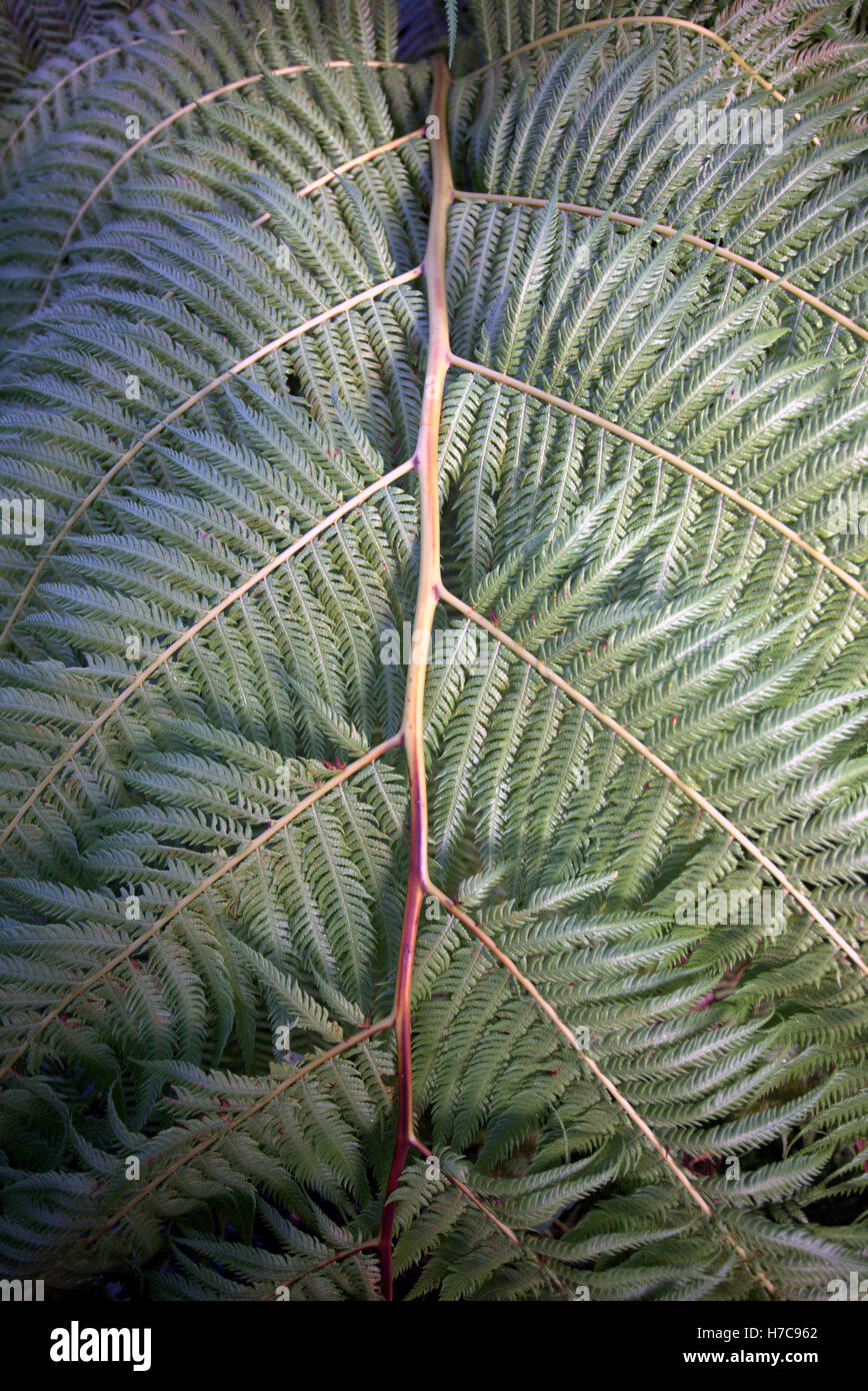 Abstract gli sfondi di foglia verde di felci tropicali della levetta Immagini Stock