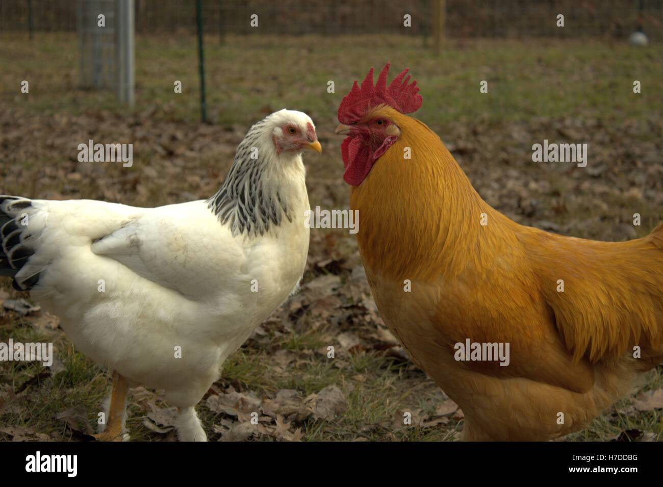 Luce di Brahma gallina e Buff Orpington Rooster, faccia a faccia Immagini Stock