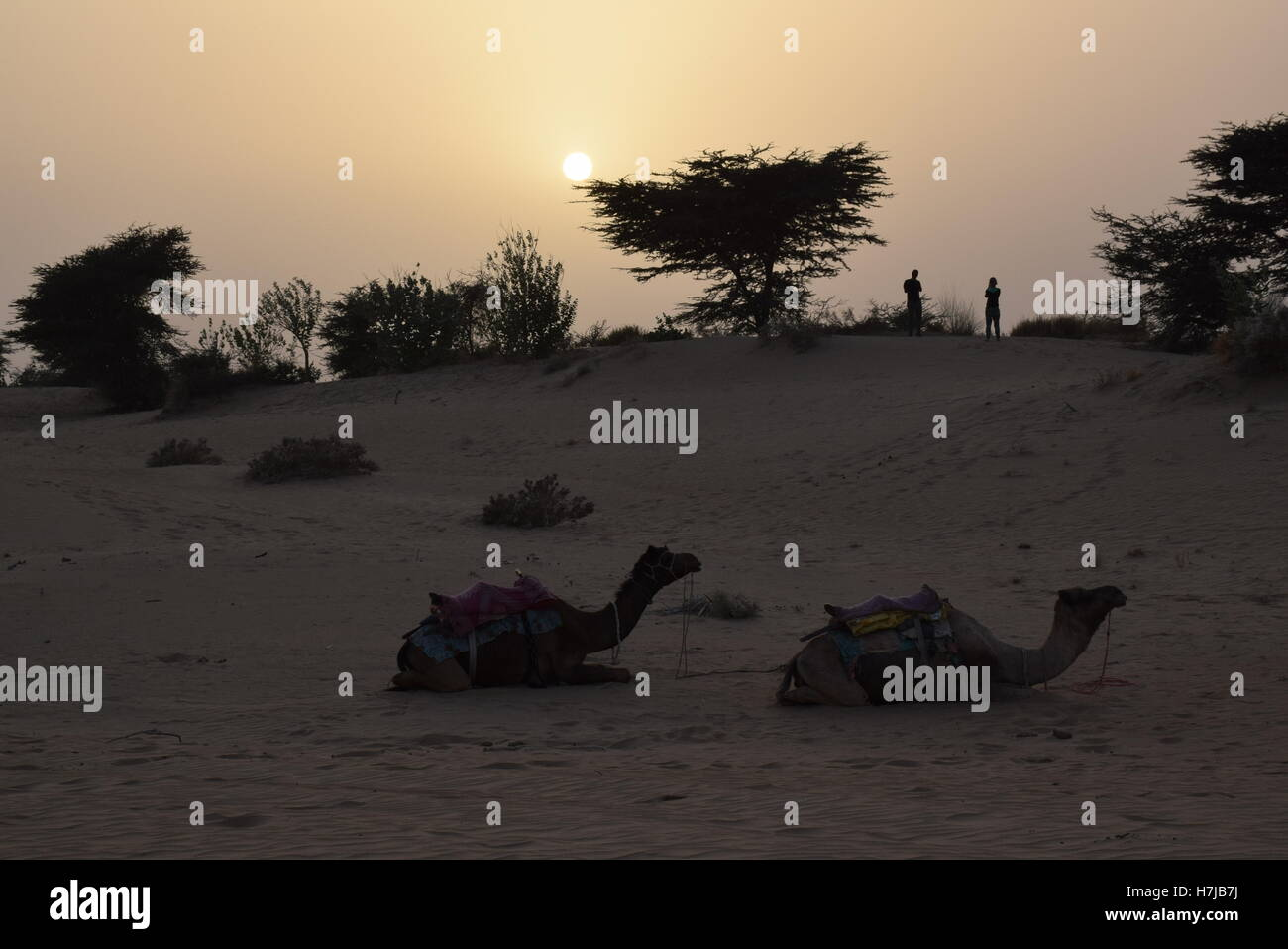 Tramonto con i cammelli nel deserto di Thar vicino jasialmer, Rajasthan, India Immagini Stock