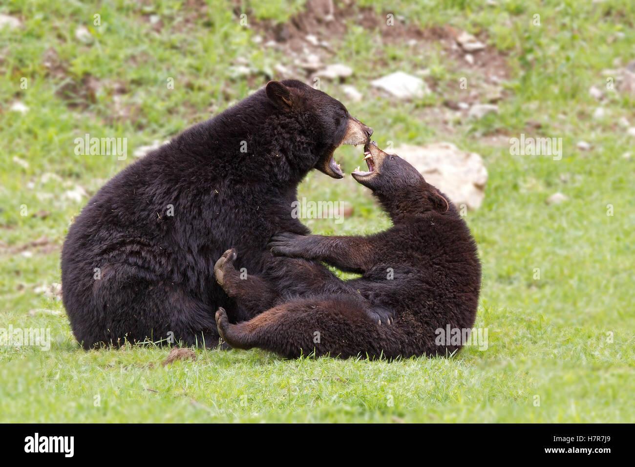 Orsi neri gioca con l'altra in Canada Immagini Stock